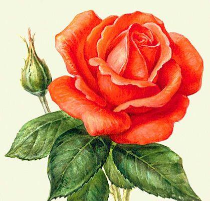 Растения розы своим появлением розы
